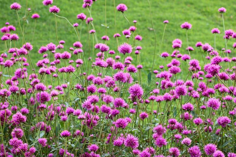 Красивый зацветая пурпурный цветок в саде стоковое изображение