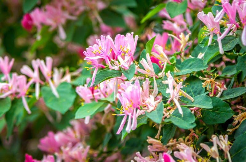 Красивый зацветая розовый куст каприфолия стоковое фото rf