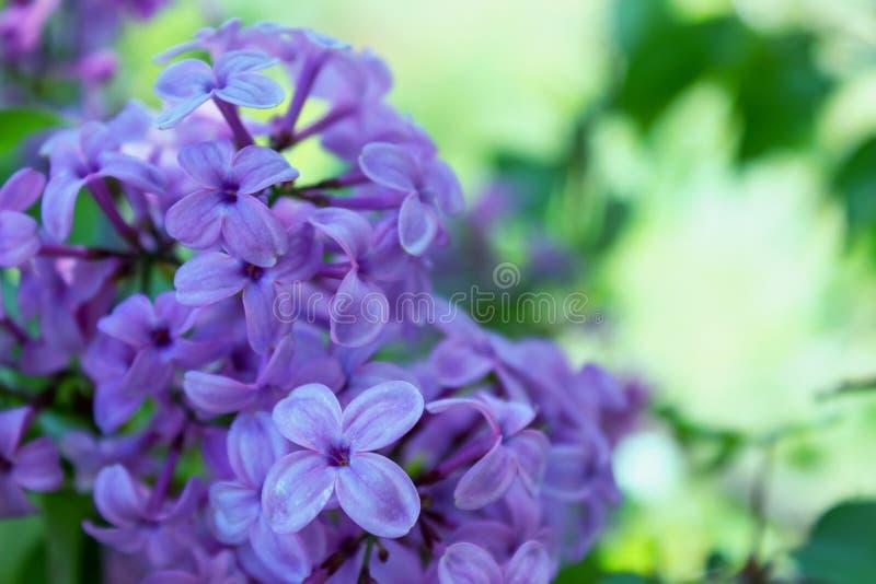Красивый зацветая сад сирени весной r стоковые фото