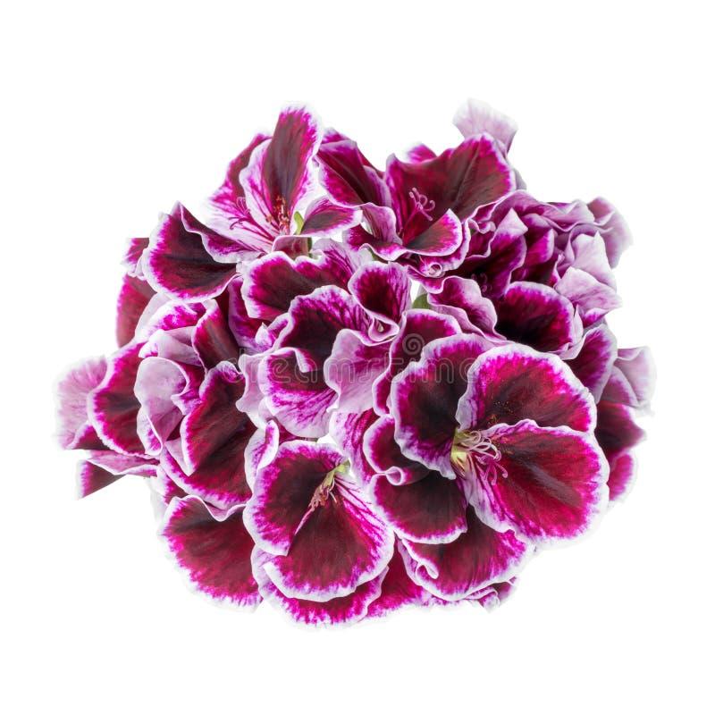 Красивый зацветая темный фиолетовый цветок гераниума изолирован на wh стоковые фотографии rf