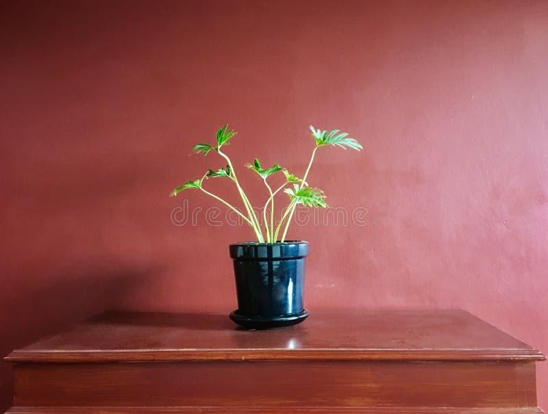 Красивый зеленый дом завода листьев декоративный в керамике на деревянном столе с красной стеной цемента стоковые изображения rf
