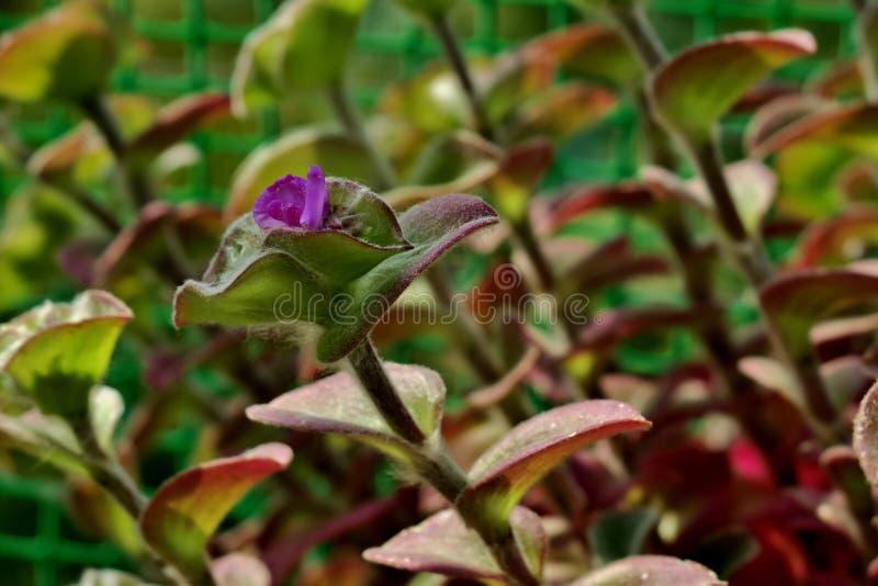 Красивый, зеленый, завод бархата с небольшим пурпурным цветком стоковые фотографии rf