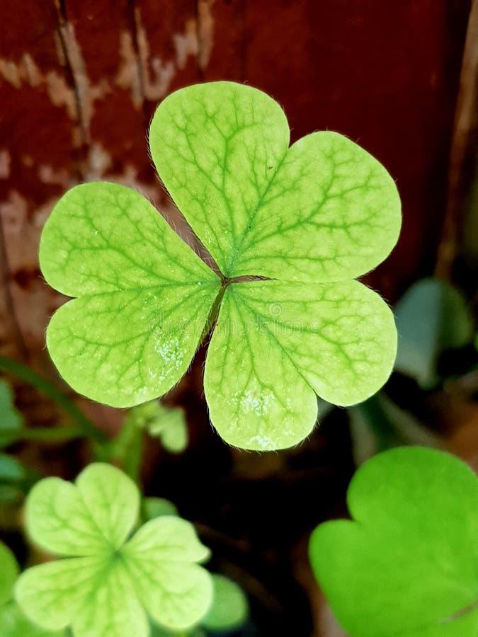 Красивый зеленый клевер стоковое фото rf