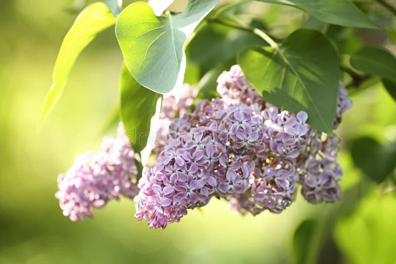 Красивый зеленый куст с душистыми нежными цветками сирени в саде на солнечный день стоковое фото rf