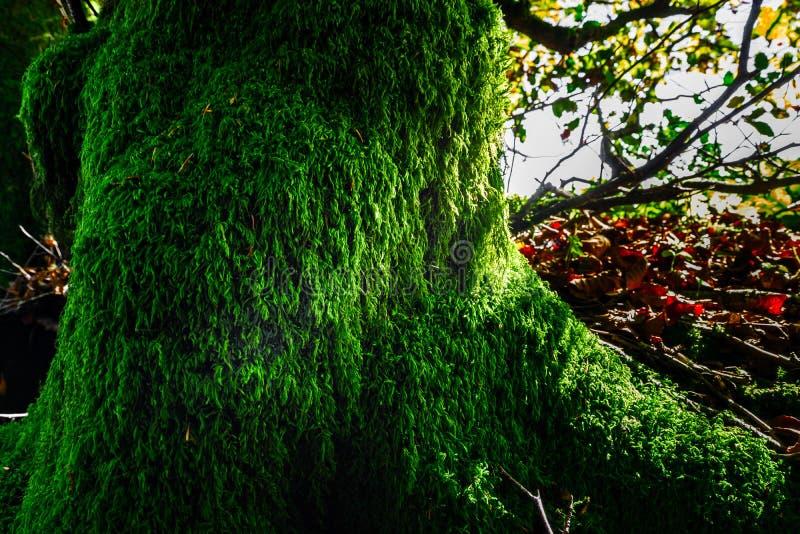 Красивый зеленый мох в осенних лесе, солнце и тенях, natura стоковое изображение