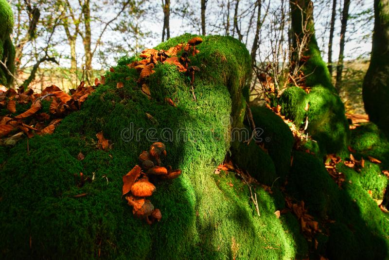 Красивый зеленый мох в осенних лесе, солнце и тенях, natura стоковые фотографии rf