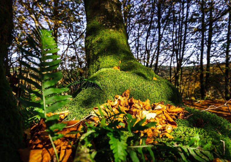 Красивый зеленый мох в осенних лесе, солнце и тенях, natura стоковые изображения