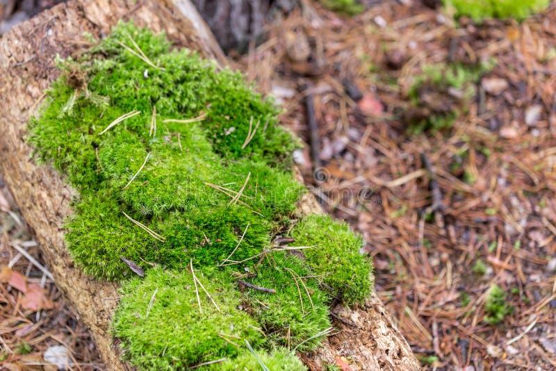 Красивый зеленый мох на деревянном имени пользователя мох леса среди деревьев в coniferous лесах Logon упаденный ковер иглы стоковые изображения rf