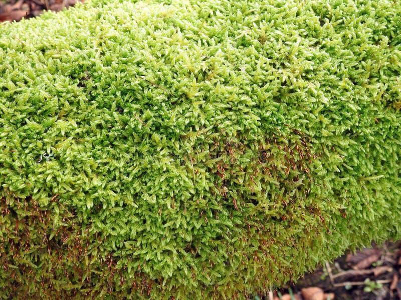 Красивый зеленый мох на стволе дерева, Литве стоковая фотография rf