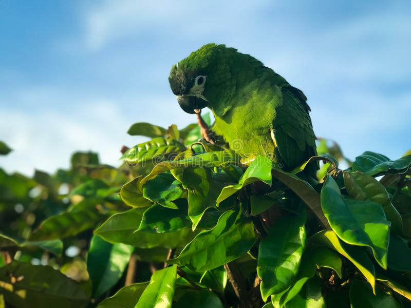 Красивый зеленый попугай или попугай Conure в своей естественной среде обитания стоковые изображения rf