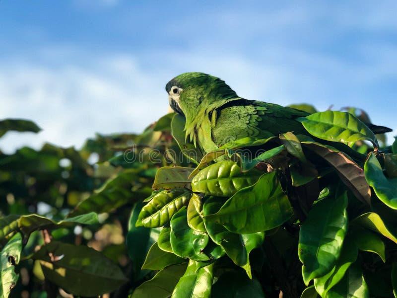 Красивый зеленый попугай или попугай Conure в своей естественной среде обитания стоковые изображения