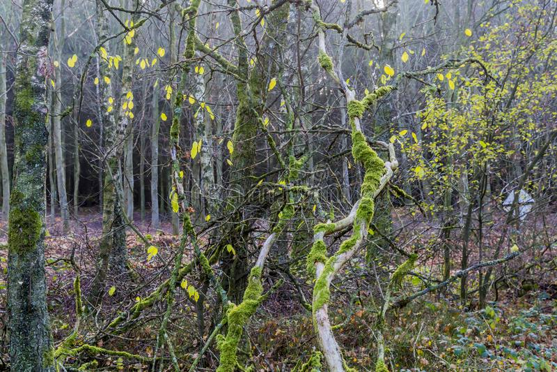 Красивый зимний день в лесе с хоботами и ветвями дерева с мхом стоковые изображения rf
