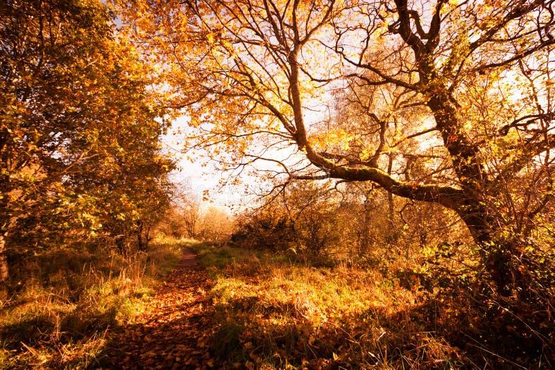 Красивый, золотой пейзаж осени с деревьями и золотые листья в солнечности в Шотландии стоковые фотографии rf