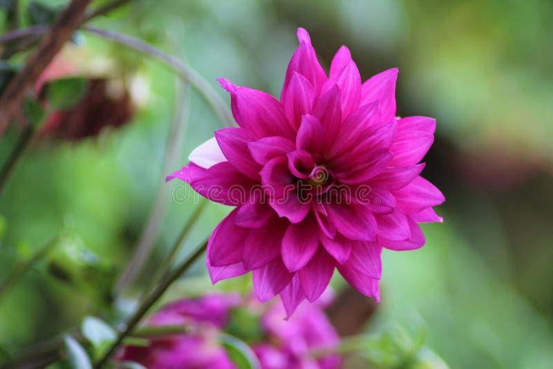 Красивый индийский цветок стоковая фотография rf