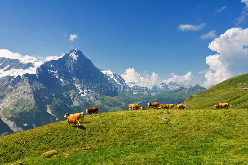 Красивый идилличный высокогорный ландшафт с коровами, горами Альпов и сельской местностью в лете стоковые фото