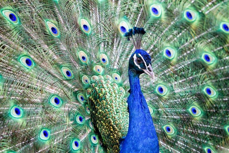 Красивый и красочный павлин в природе стоковые изображения