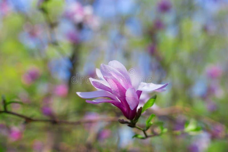 Красивый и нежный розовый цветок магнолии с селективным фокусом стоковая фотография rf