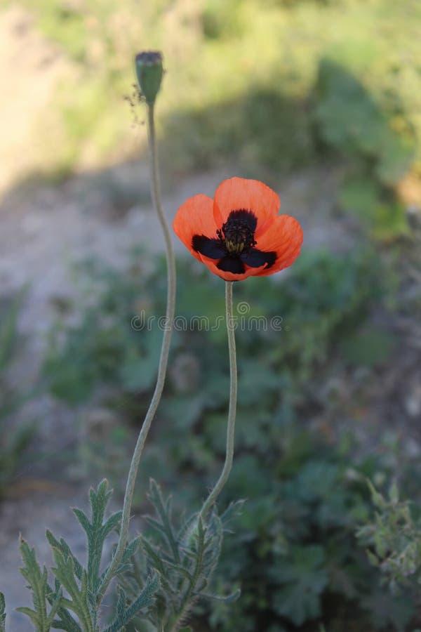 Красивый и противоестественный красно-черный мак степи стоковая фотография rf