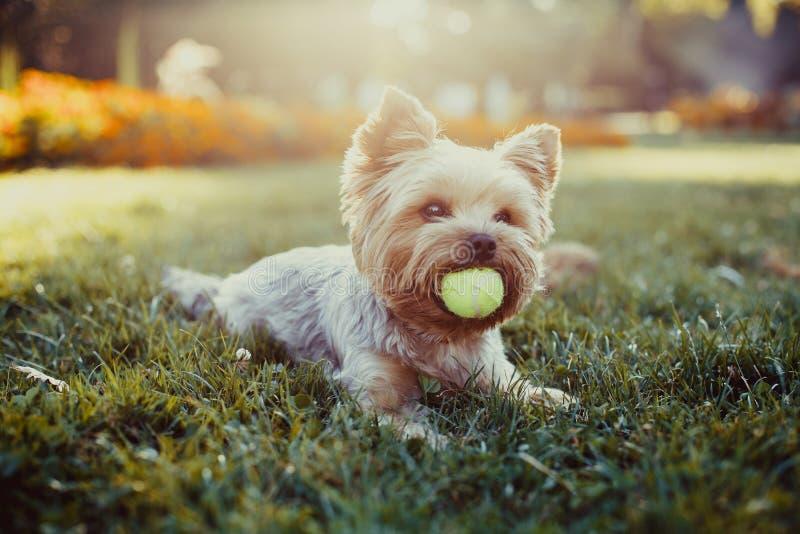 Красивый йоркширский терьер играя с шариком на траве стоковые фотографии rf
