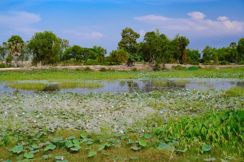 Красивый камбоджийский ландшафт с цветками лотоса на пруде и деревьями в предпосылке стоковое фото rf