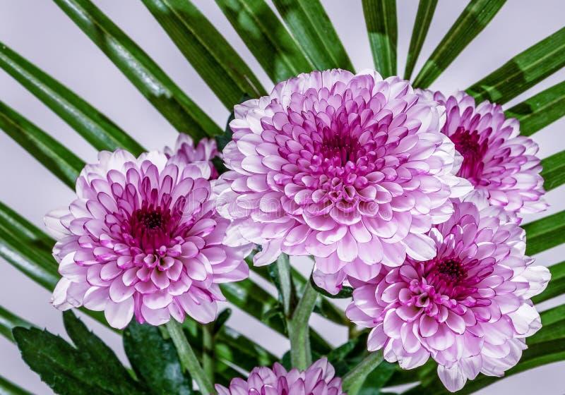 Красивый конец вверх по букету естественных розовых хризантем стоковое изображение rf