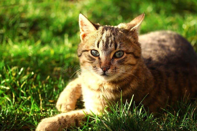 Красивый коричневый кот с зелеными глазами стоковое изображение rf