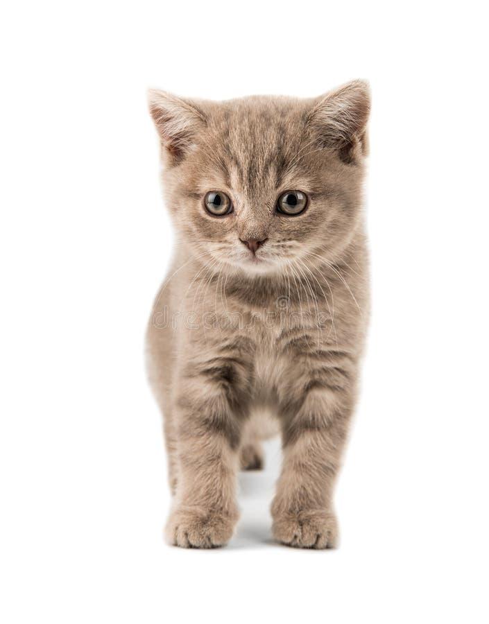 Красивый коричневый маленький великобританский котенок стоковые фотографии rf