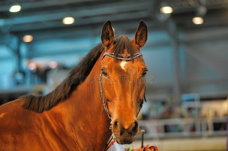 Download Красивый коричневый портрет жеребца Стоковое Фото - изображение насчитывающей головка, уши: 40586646