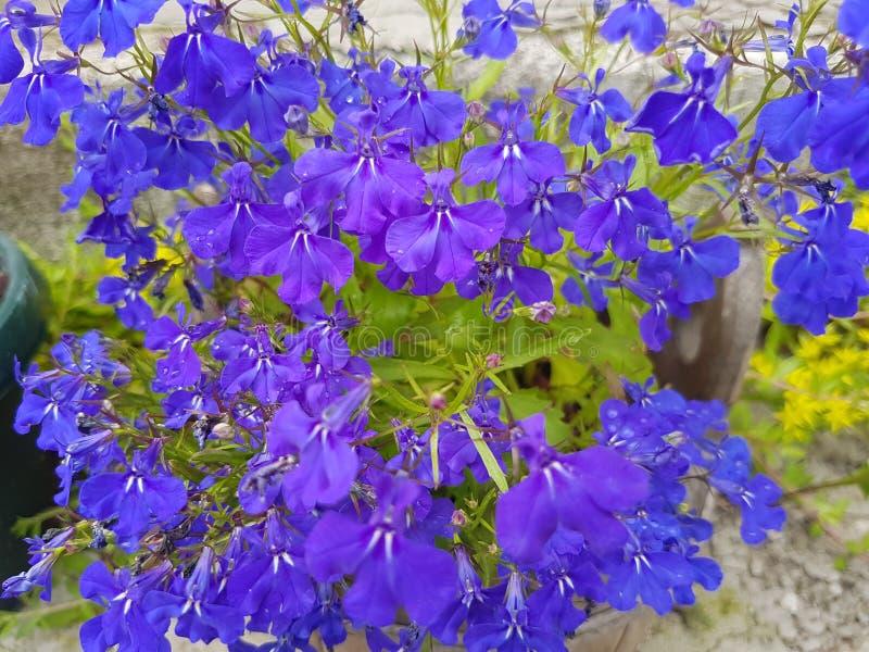 Красивый королевский голубой цветок стоковая фотография rf