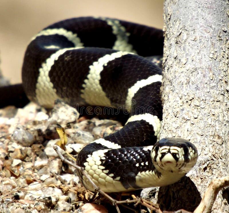 Красивый король змейка стоковое фото rf