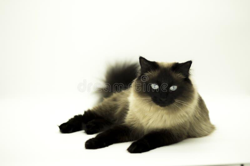 Красивый кот изолированный на белой предпосылке стоковая фотография