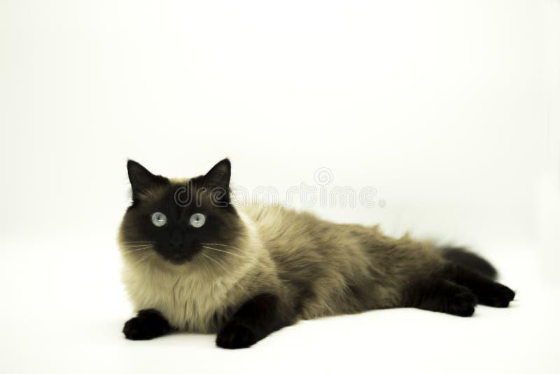 Красивый кот изолированный на белой предпосылке стоковое фото