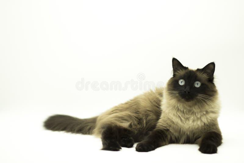 Красивый кот изолированный на белой предпосылке стоковые изображения rf