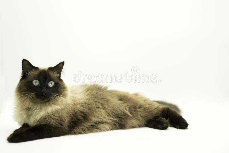 Красивый кот изолированный на белой предпосылке стоковые фотографии rf