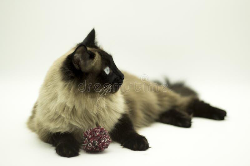 Красивый кот изолированный на белой предпосылке стоковое изображение