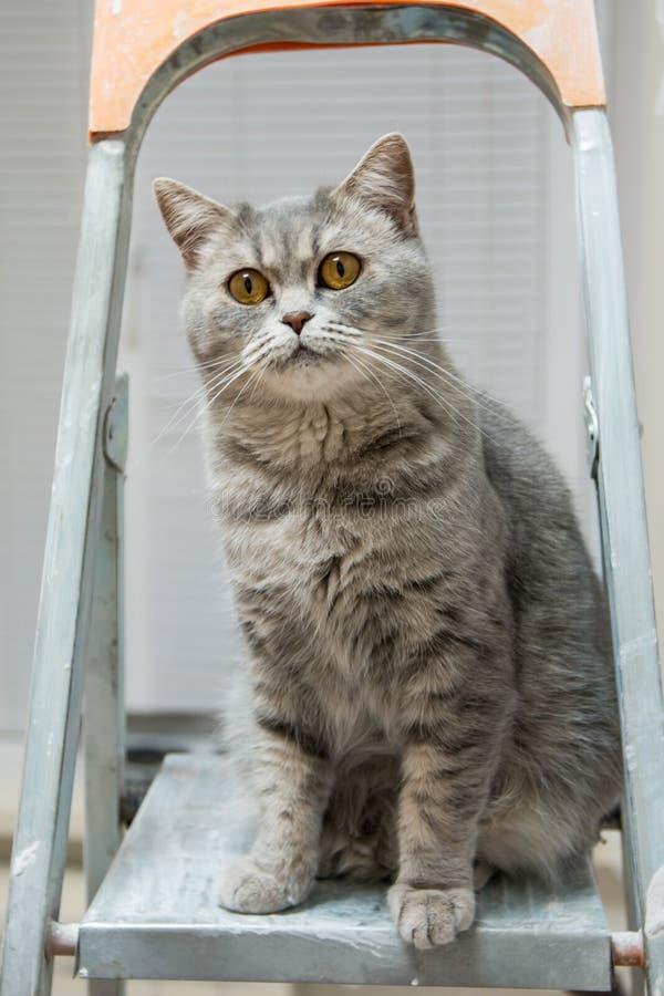 Красивый кот породы британцев Whiskas сидит на stepladder и смотрит работу ремонта стоковые фотографии rf
