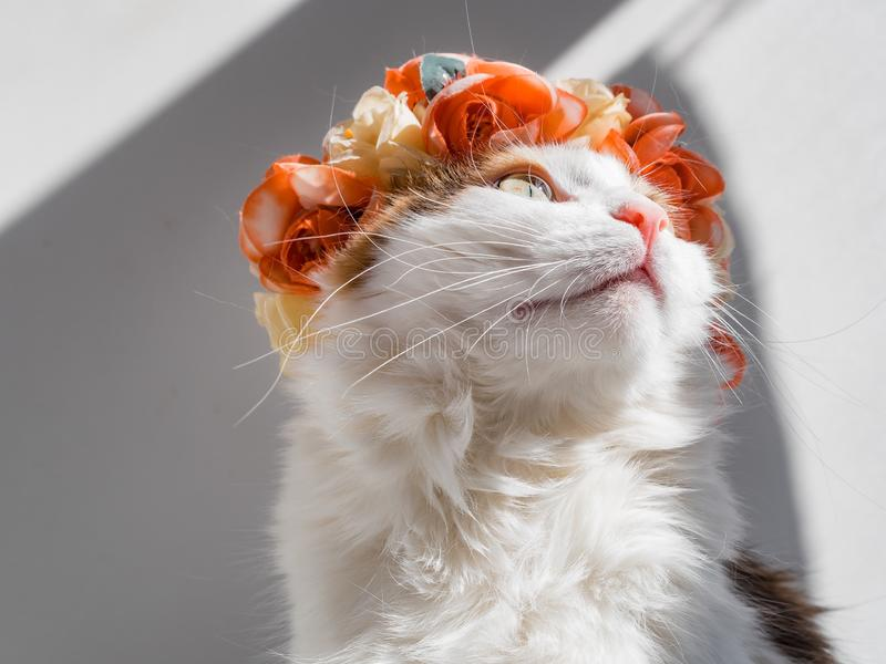 Красивый кот ситца с венком на его голове Милая киска в diadem цветков на ее голове сидит в солнце и взглядах стоковые изображения rf