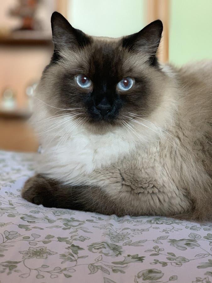 Красивый кот с голубыми глазами стоковая фотография rf
