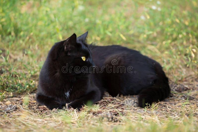 Красивый кот bombay черный в профиле с желтыми глазами лежит outdoors в природе на луге стоковое фото rf