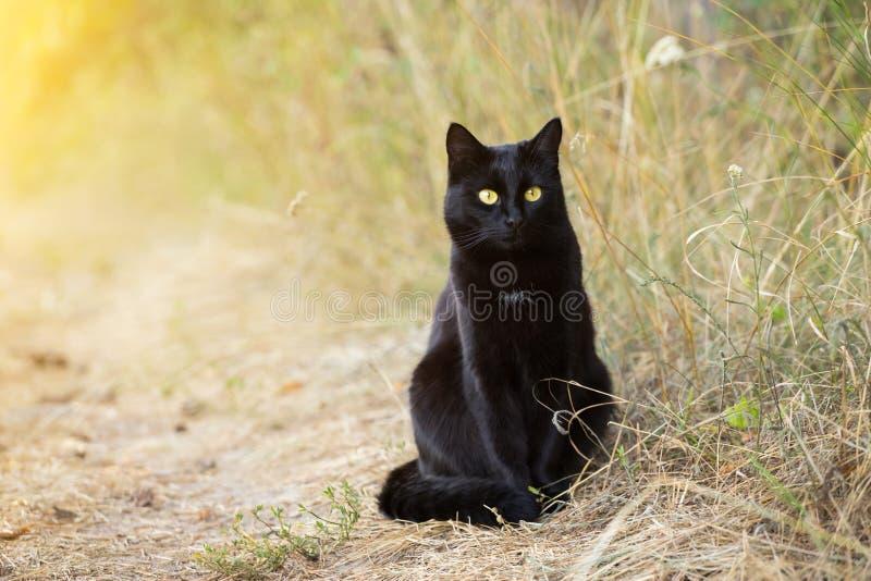Красивый кот bombay черный в траве в природе в солнечном свете ¡ Ð на смотрит в камере стоковая фотография rf