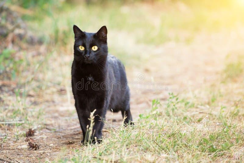 Красивый кот bombay черный с внимательным outdoors взгляда проницательности, природой, космосом экземпляра стоковое фото