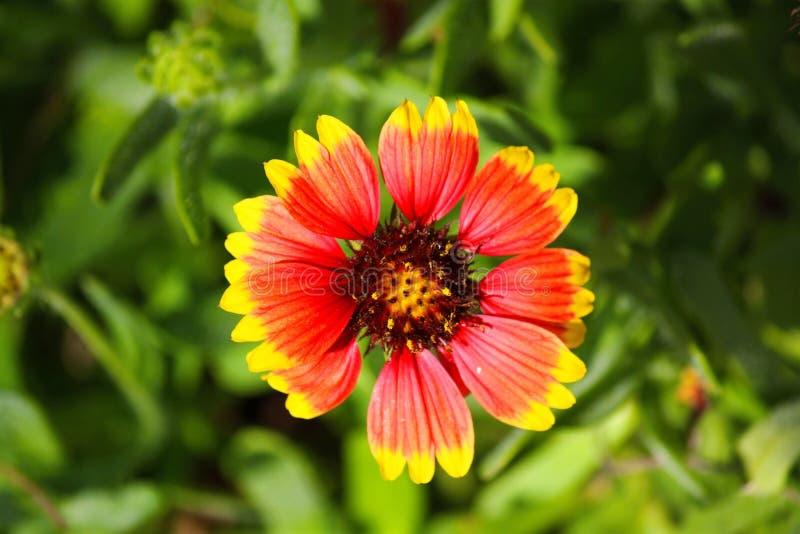 Красивый красный и желтый полевой цветок стоковое фото