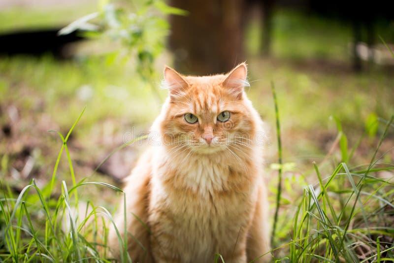 Красивый красный кот на траве стоковая фотография rf