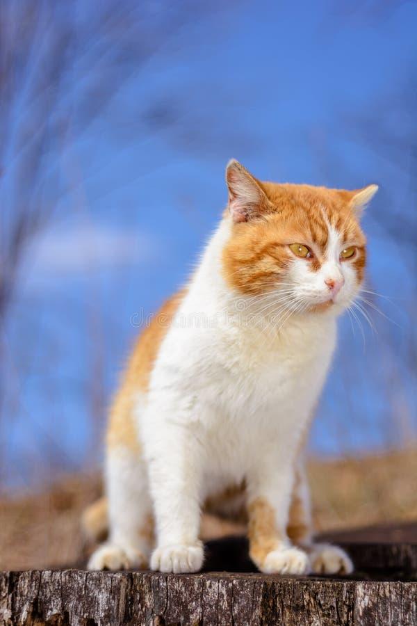 Красивый красный кот сидя в древесинах на пеньке на предпосылке голубого неба стоковая фотография