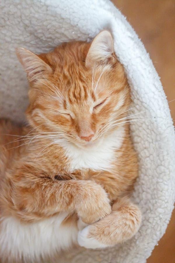 Красивый красный кот спать, конец-вверх r здоровые restful сон и жизнь стоковое изображение rf