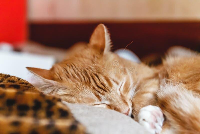 Красивый красный кот спать, конец-вверх r здоровые restful сон и жизнь стоковые фотографии rf