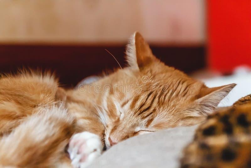 Красивый красный кот спать, конец-вверх r здоровые restful сон и жизнь стоковые изображения rf