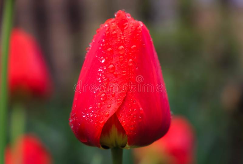 Красивый красный тюльпан в дождевых каплях стоковое изображение rf