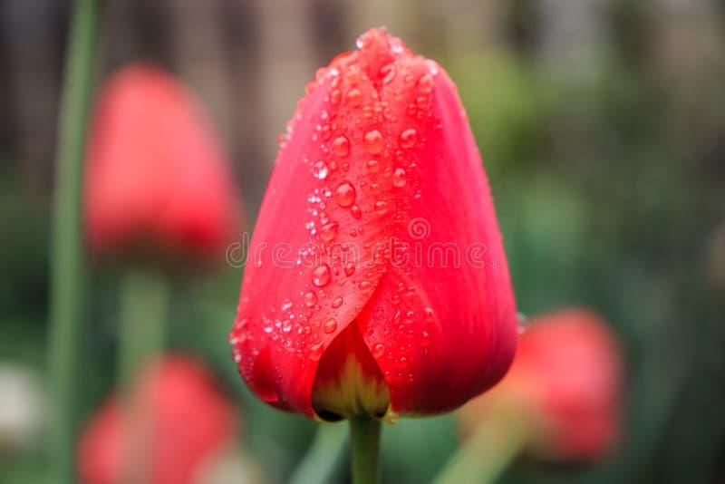 Красивый красный тюльпан в дождевых каплях стоковое фото rf