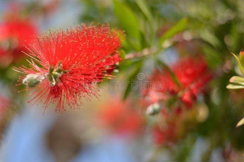 Красивый красный цветок на предпосылке нерезкости стоковая фотография rf